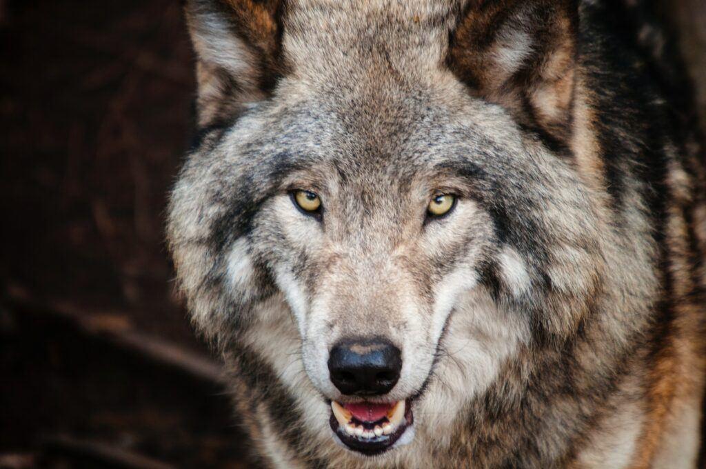 wolf - affiliate marketing wolf 2.0